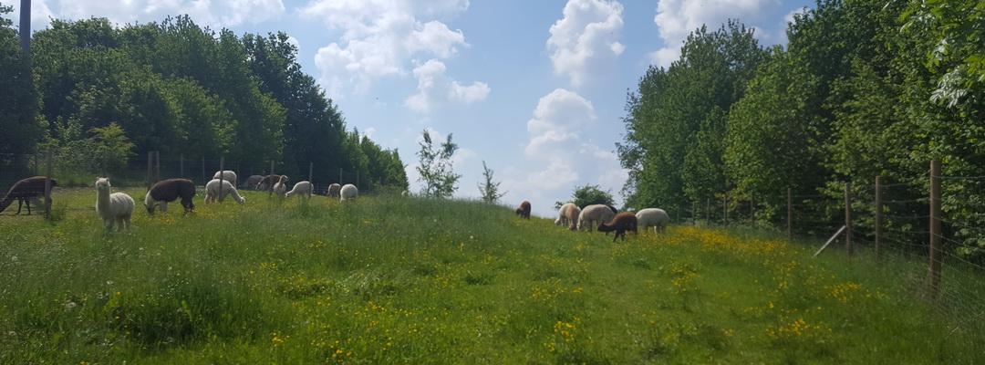 Alpakahofurlaub_25